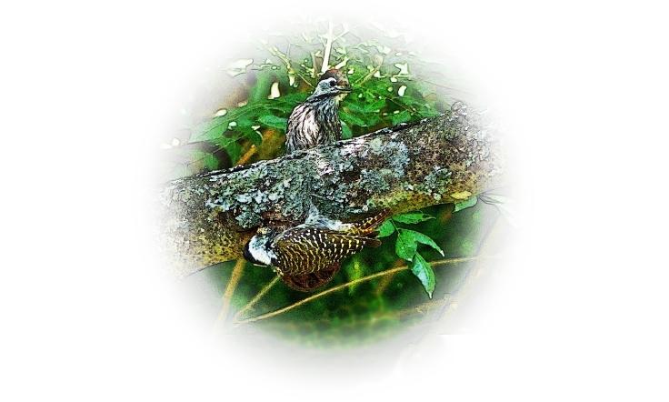 Cardinal Woodpeckers