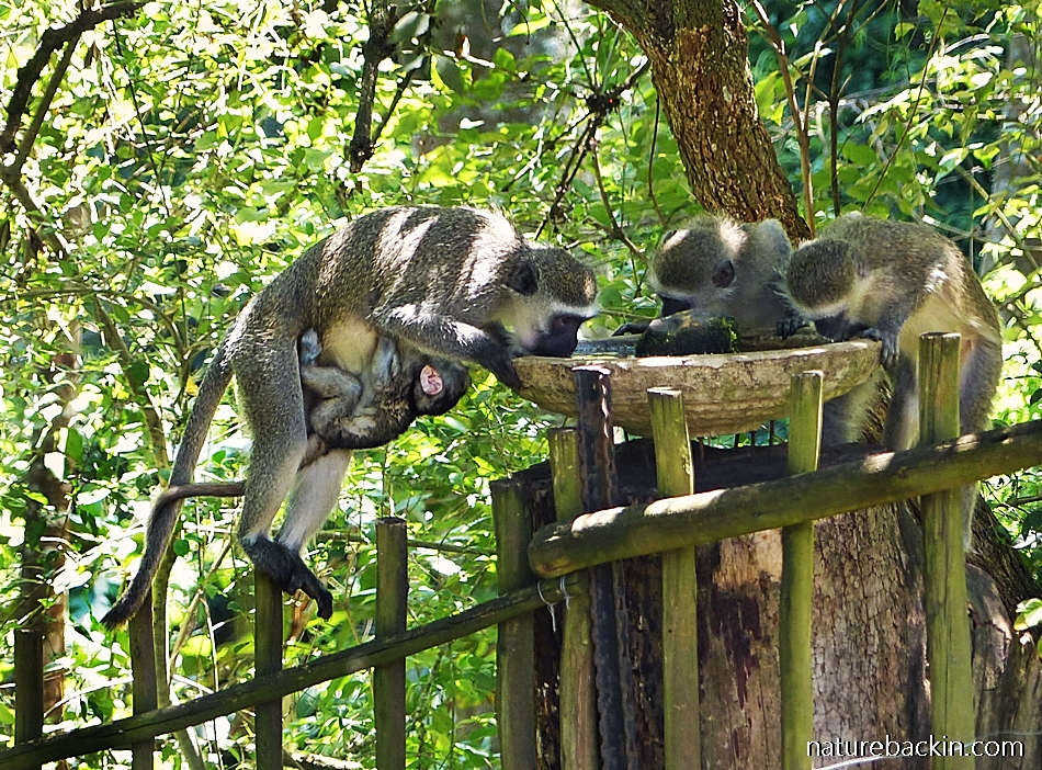 Vervet Monkeys drinking from garden birdbath
