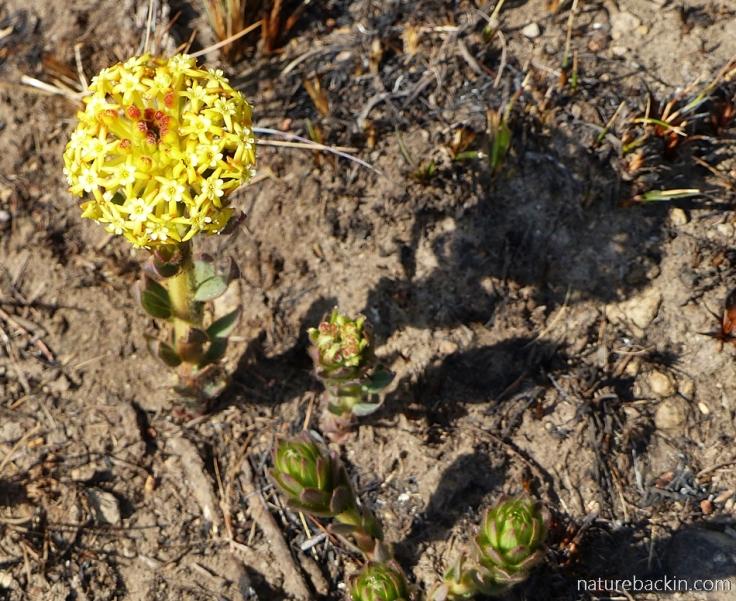 Gnidia kraussiana in flower in the Drakensberg
