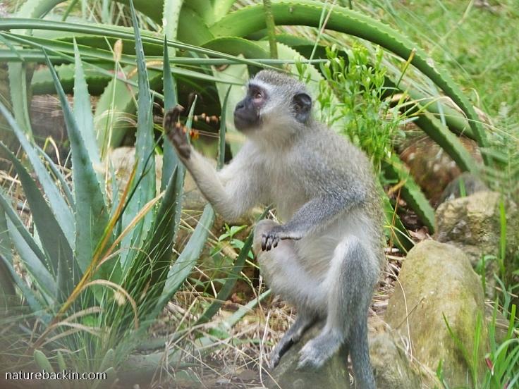 Vervet monkey eating seeds of Crocosmia aurea