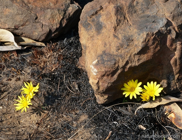 Yellow gazania in flower in the Drakensberg