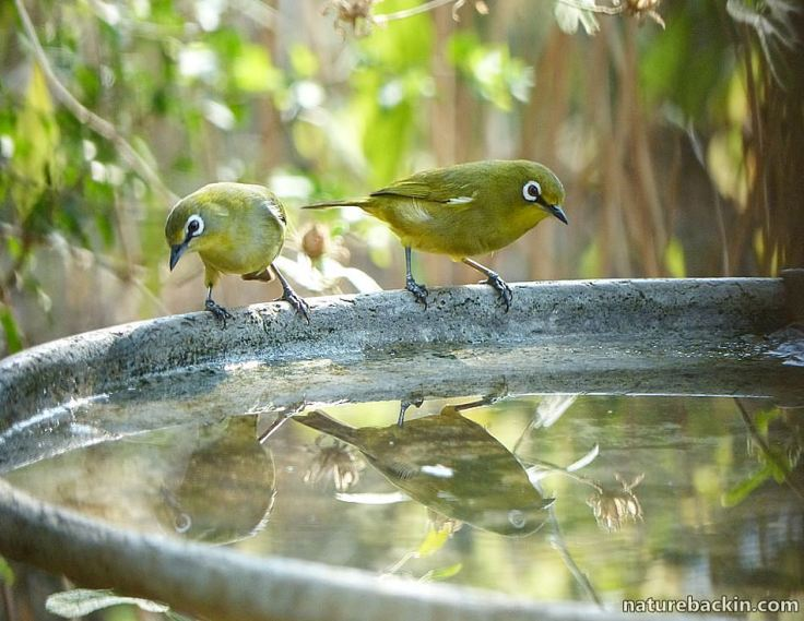 Cape White-eyes at birdbath, South Africa