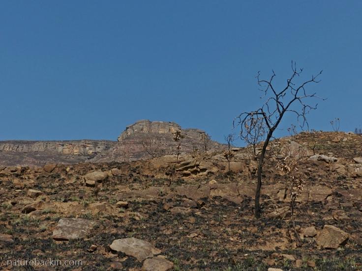 Fire burnt protea in the Drakensberg
