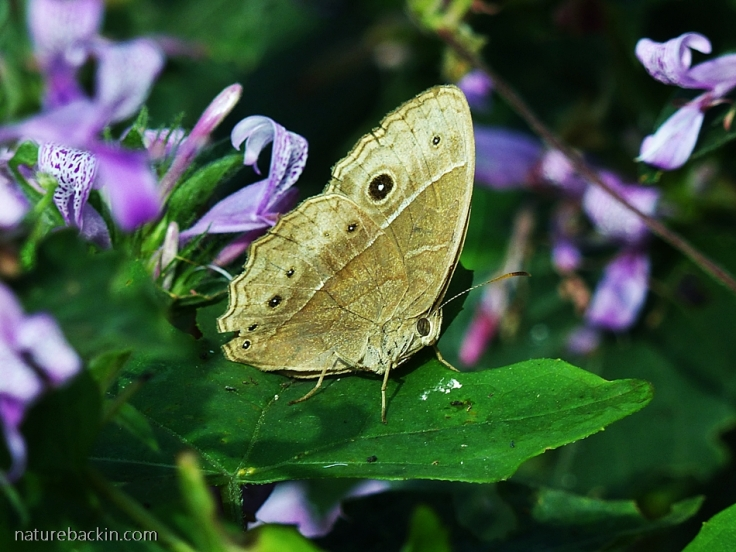 Bush-Brown-butterfly