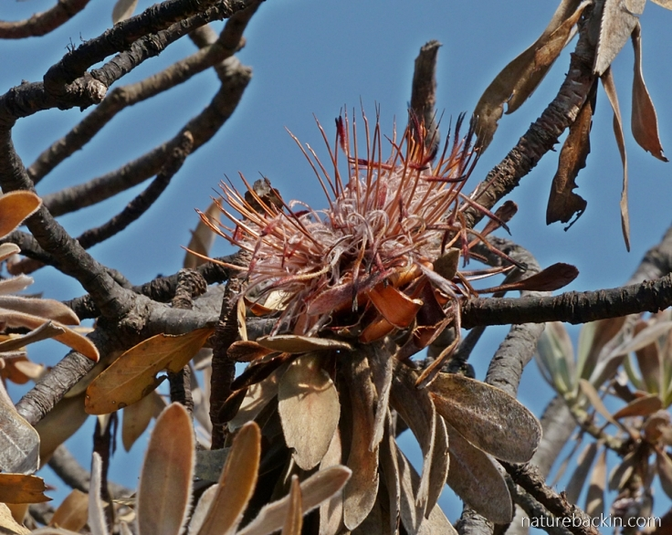 Fry flowers of the Silver Protea/Sugarbush (Protea roupelliae)