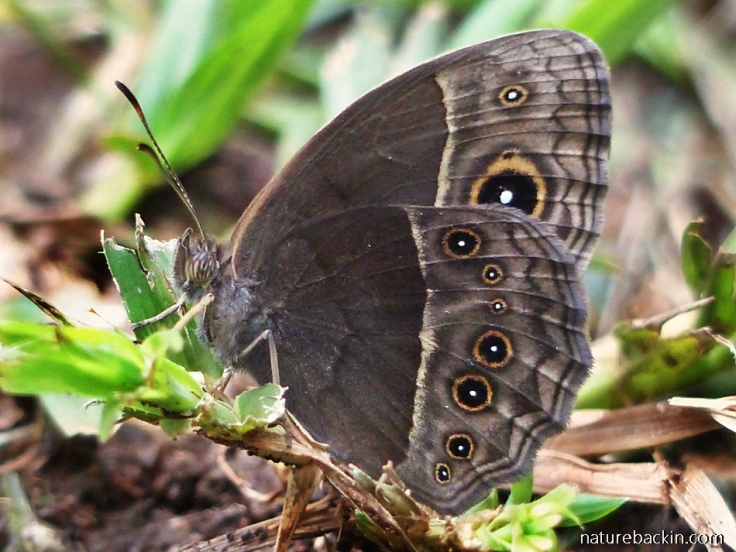Common-Brown-butterfly