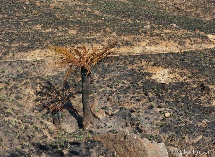 Tree ferns burnt by fire in the Drakensberg