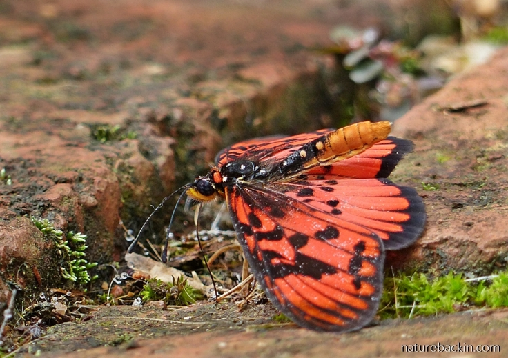 Blood-red Acraea-butterfly