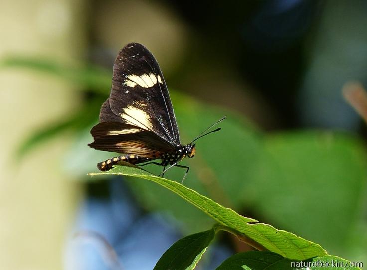 Acraea-Dusky-butterfly