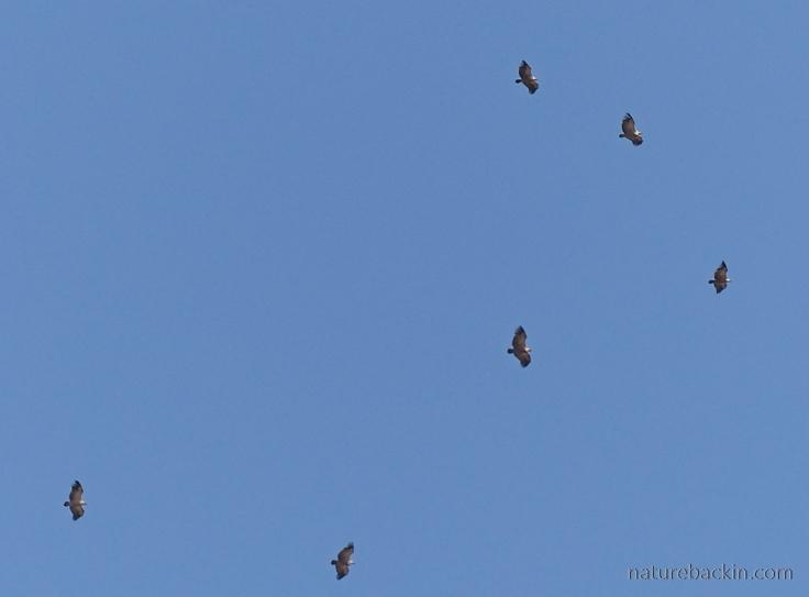 Cape-Vultures-Drakensberg-1