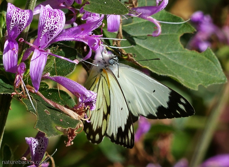 African-Common-White-butterfly