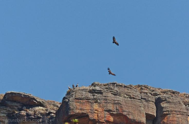 Cape-Vultures-Drakensberg-2