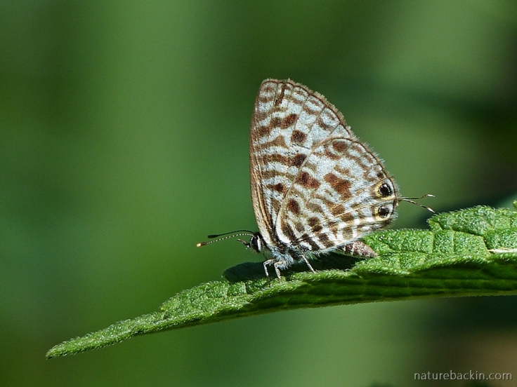 Common-Zebra-Blue-butterfly