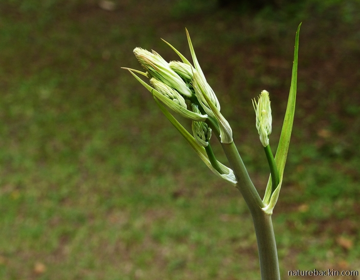 21 Aloe-pruinosa-inflorescence