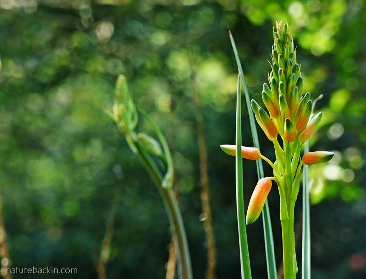 Flower of Aloe cooperi