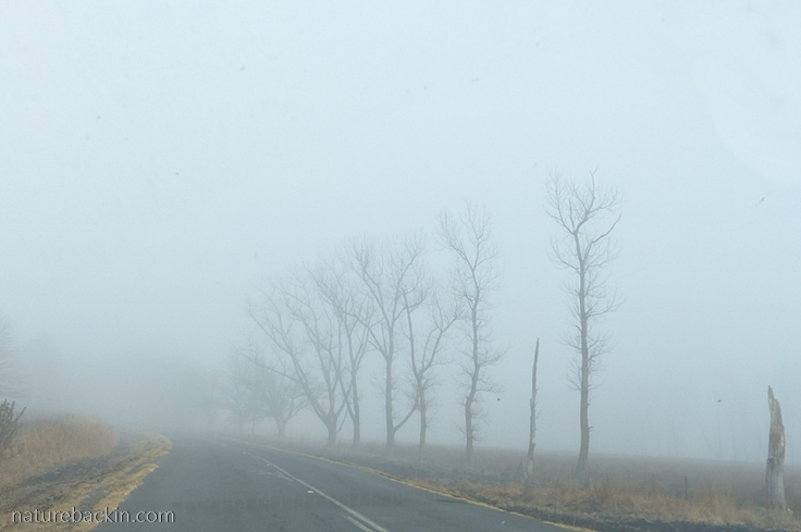 Trees-in-mist-KZN-Midlands-2