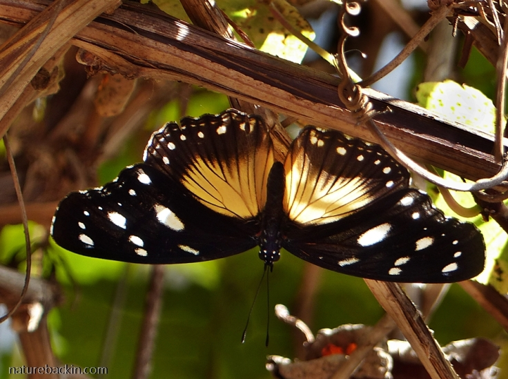 3 Variable-diadem-butterfly