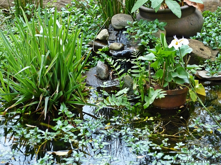 Garden pond, wildlife-friendly garden, South Africa
