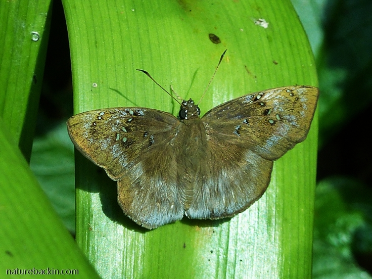 Tagiades-flesus-Clouded-forester-butterfly