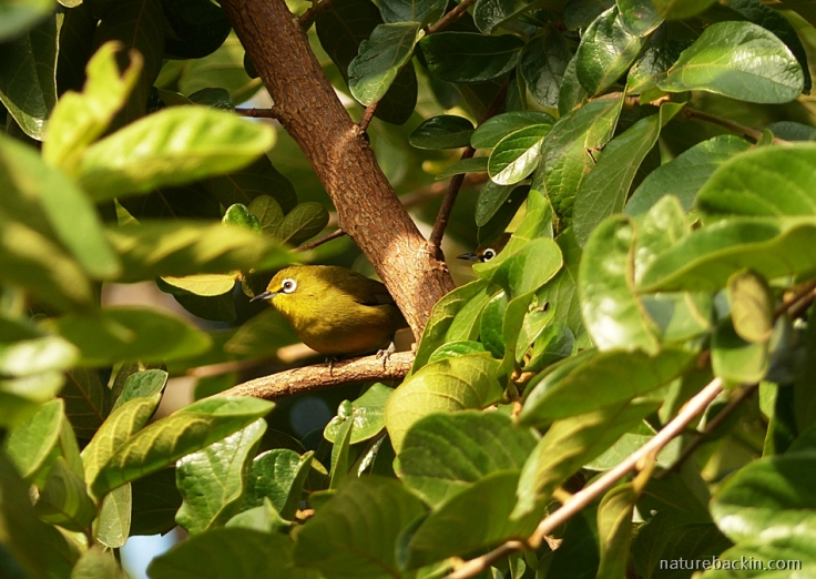 White-eye birds foraging in Tassel Berry tree, KwaZulu-Nata;