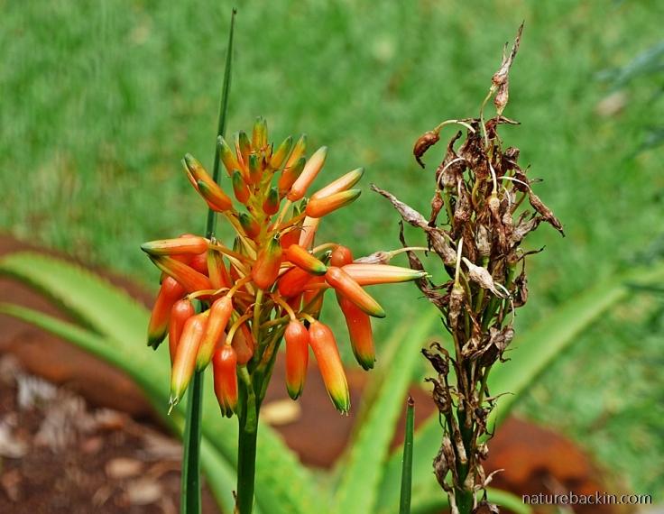 5 Aloe-cooperi-flower-seeds