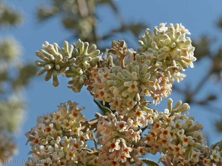 Buddleja-salvifolia-flowers