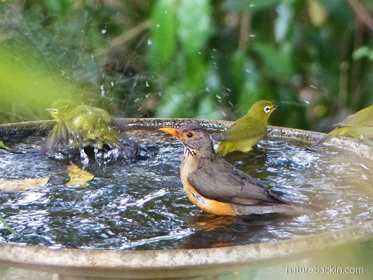 Kurrichane Thrush and Cape White-eyes in birdbath