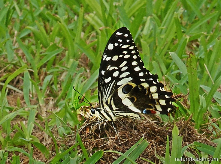 Citrus-Swallowtail-butterfly