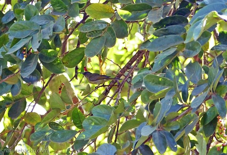 Sunbird in a Tassel Berry tree, KwaZulu-Natal garden
