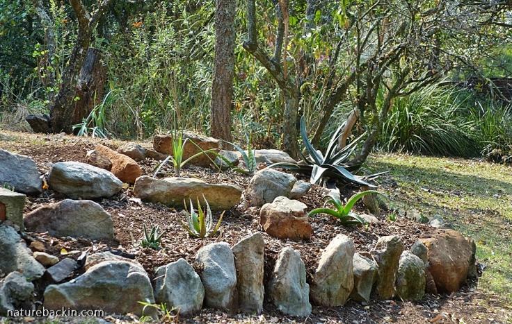 Newly planted aloe garden, KwaZulu-Natal