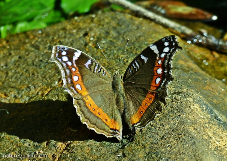 Garden-Commodore-butterfly