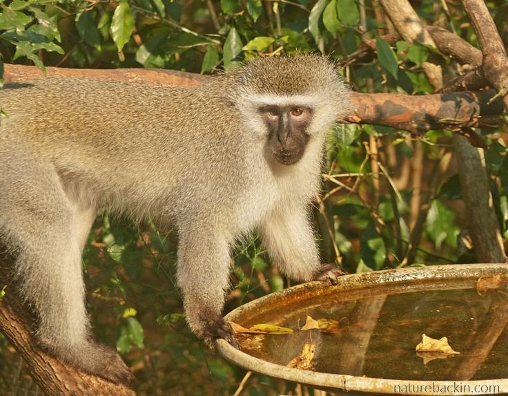 Vervet Monkey at garden birdbath, KwaZulu-Natal