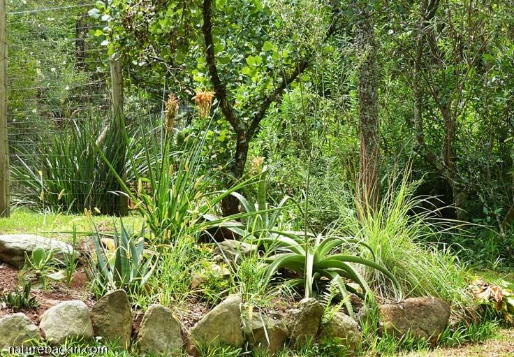 9 Aloe-patch-KZN