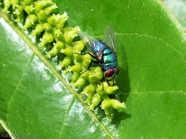 Blow fly pollinator on flower of a Tassel Berry tree