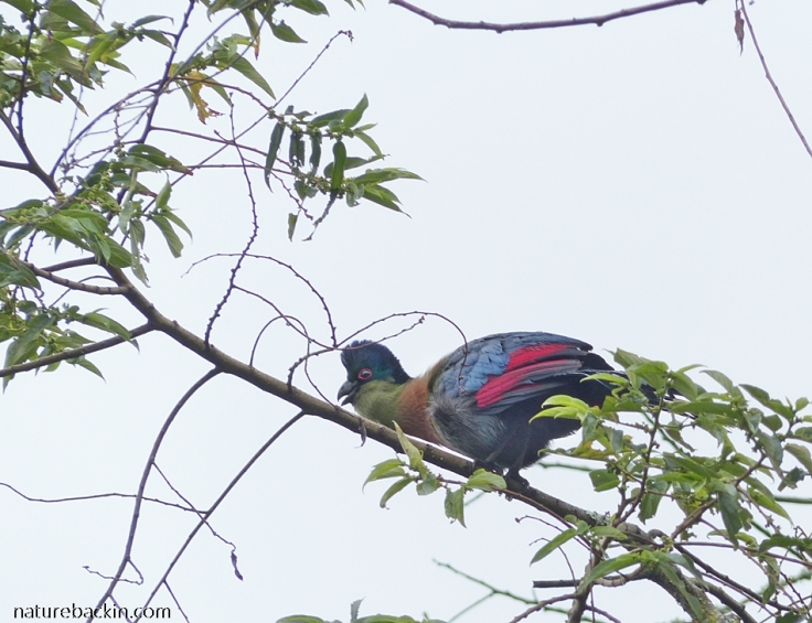 Purple-crested Turaco calling from high up in a tree