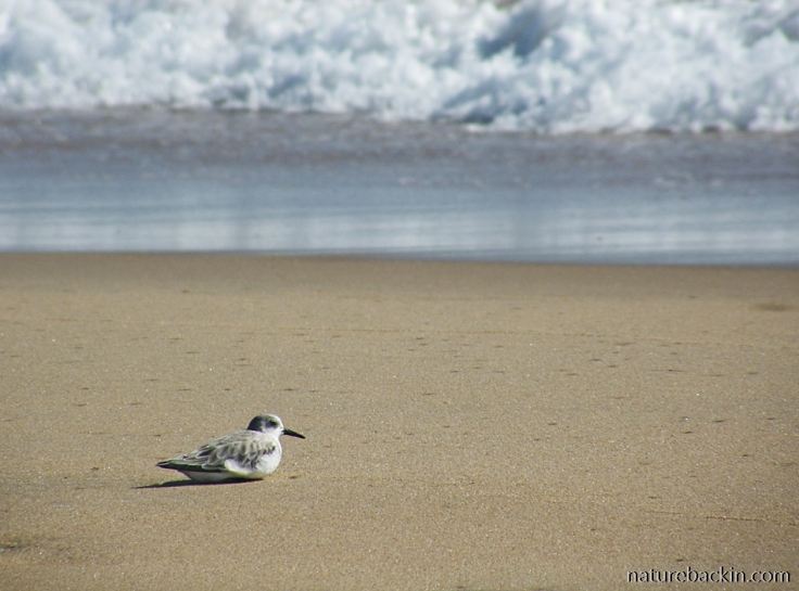 Sanderling resting on the beach at Sodwana Bay, KwaZulu-Natal north coast