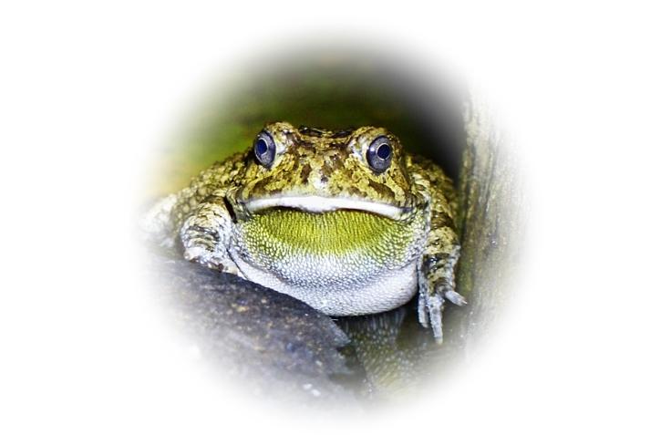 toads & loerie 008Gu