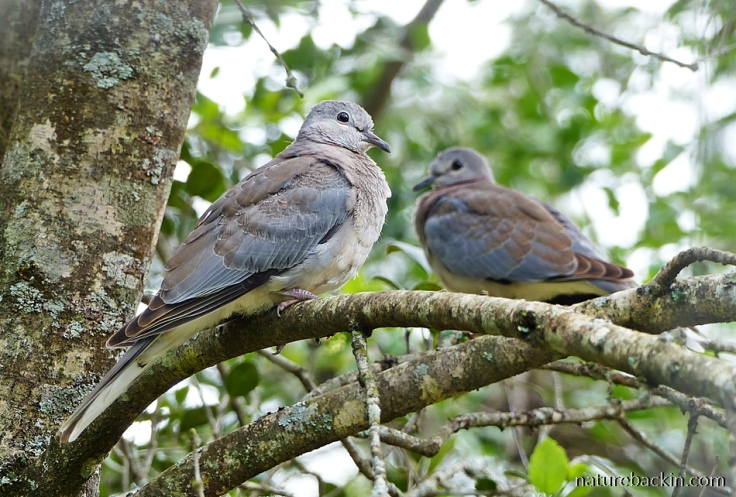 Recently fledged Laughing Doves, KwaZulu-Natal
