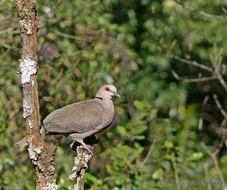 Redeyed Dove perched in a tree