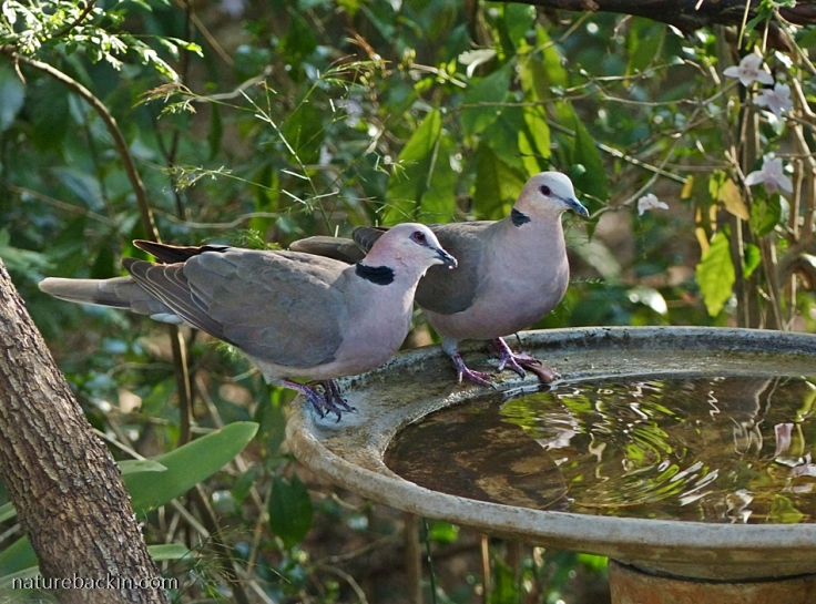 Pair of Redeyed Doves at birdbath