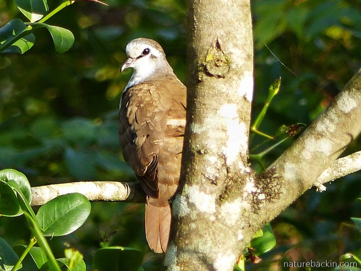 Tambourine Dove perched in a KwaZulu-Natal garden