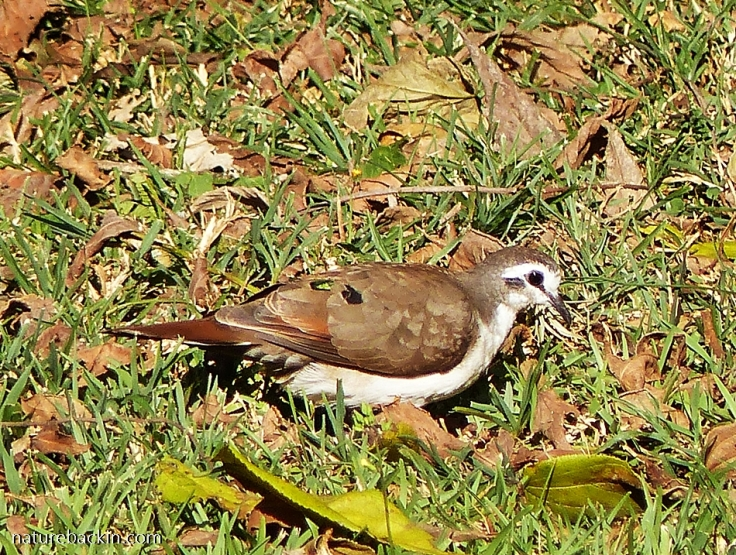 Tambourine Dove foraging on the ground