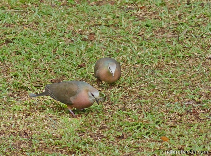 Pair of Lemon Doves foraging on the ground