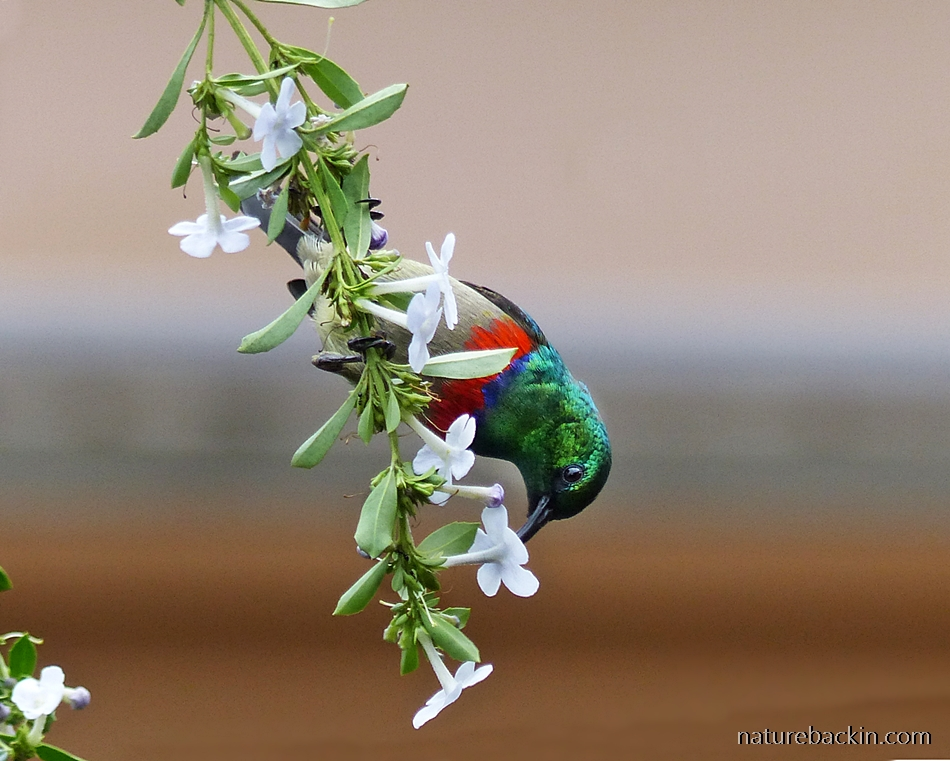 Sunbird feeding on nectar in a wildlife-friendly garden in KwaZulu-Natal