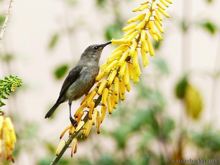 A sunbird taking nectar from a flower
