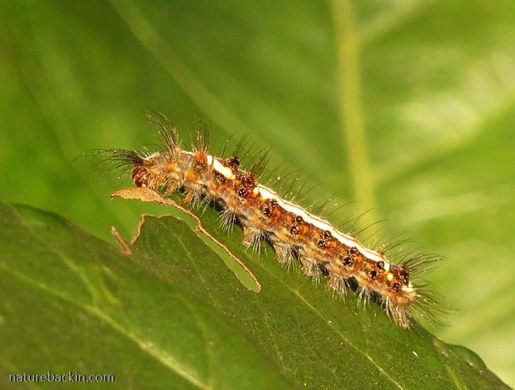 Caterpillar eating leaf, KwaZulu-Natal