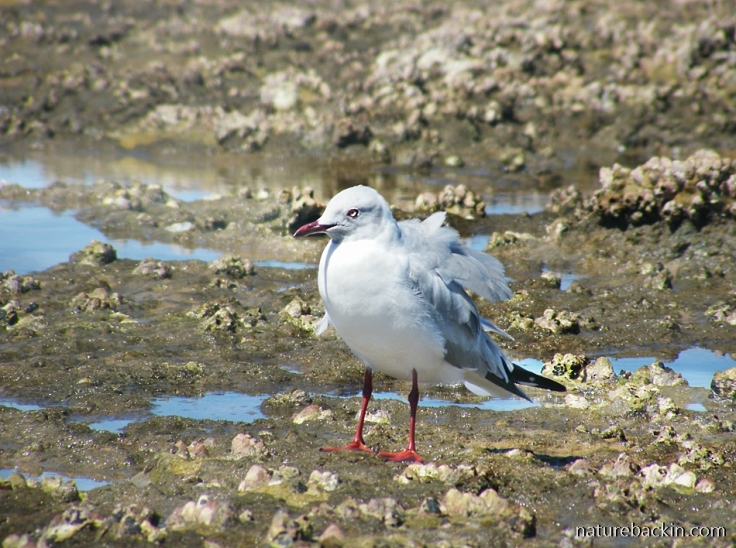 Greyheaded gull at rock pools at Sodwana Bay