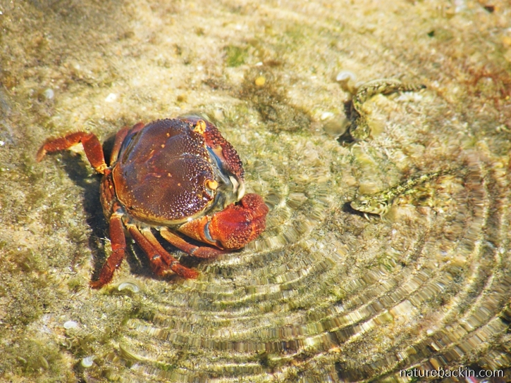 Crab and rockhoppers in rock pool at Sodwana Bay