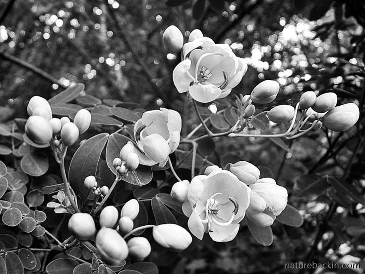 Flowering-cassia