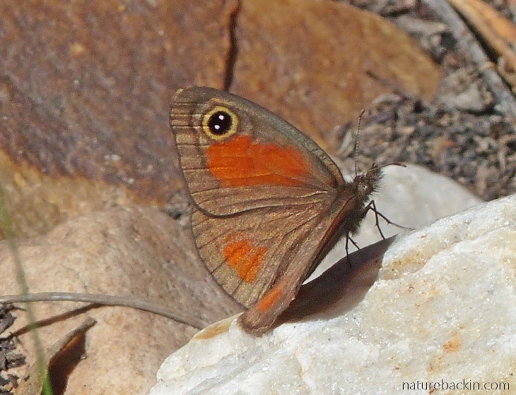 Pretty butterfly at Gamkaberg - one of the Browns